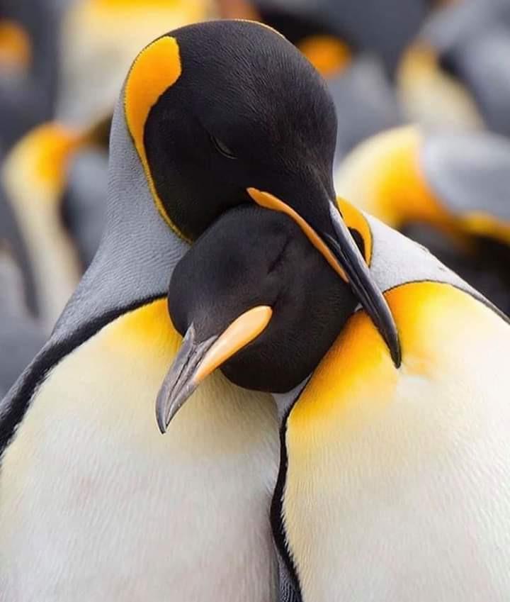 Two penguins hugging